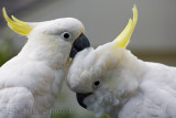 Sulphur crested cockatoo pair preening