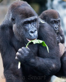 Lowland mountain gorilla with young