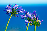 Agapanthus with ocean backdrop