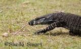 Goanna aka iguana