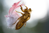 Cicada shell with feather
