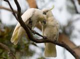 Two cockatoos preening