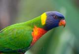 Young rainbow lorikeet