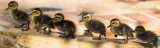 Ducklings banner