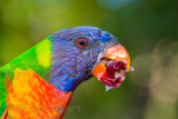 Rainbow lorikeet eating red grape