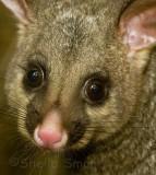 Portrait of a brushtail possum