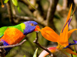 Rainbow lorikeet and bird of paradise/strelitzia