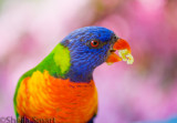 Rainbow lorikeet with azalea background