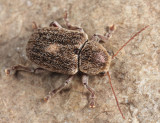 Hairy Leaf Beetle - Glyptoscelis pubescens