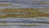 Least Sandpipers - Calidris minutilla
