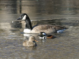 Hooded Merganser, Canada Goose, and Gadwall