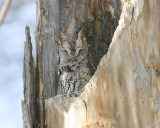 Eastern Screech Owl gray phase - Otis asio