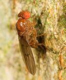 Drosophila quinaria species group