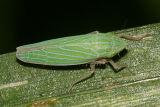 Draeculacephala mollipes