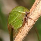 Stictocephala lutea