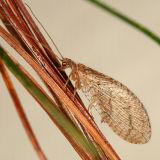 Brown Lacewings - Hemerobiidae