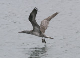 immature Northern Gannet