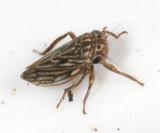 Ceratagallia sp.