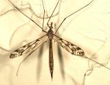 Tipula trivittata