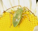 Alfalfa Plant Bug nymph - Adelphocoris lineolatus