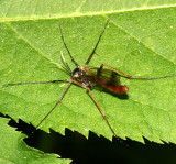 Fungus Gnats - Mycetophilidae