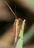 Leptopterna sp.