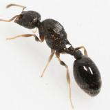 Temnothorax longispinosus