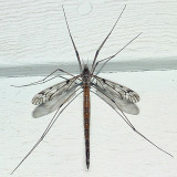 Tipula longiventris