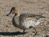 Northern Pintail - Anas acuta (female)