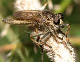 Machimus erythocnemius