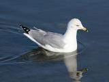 Ring-billed Gull - Larus delawarensis
