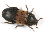 Larder Beetle - Dermestes lardarius