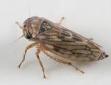Ceratagallia humilis