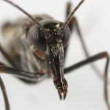 male Snow Scorpionfly - Boreus brumalis