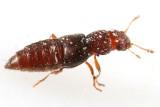 Rove Beetles Subfamily Euaesthetinae