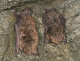 Little Brown Bat - Myotis lucifugus