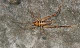Ceuthophilus sp. (female)