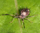 Helmeted Squash Bug nymph - Euthochtha galeator