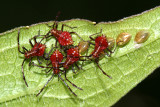 Helmeted Squash Bug nymphs - Euthochtha galeator