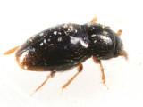 Ptenidium sp.