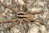Gladicosa gulosa male