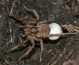 Gladicosa gulosa with egg sac
