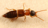 Lithocharis sp.