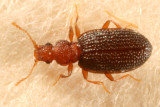 Minute Brown Scavenger Beetles - Latridiidae