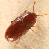 Philothermus glabriculus