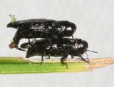 Metallic Wood-boring Beetles - Genus Taphrocerus