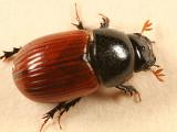 Scarab Beetles - Scarabaeidae
