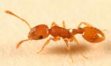 Ants genus Temnothorax