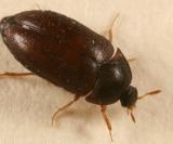 Attagenus brunneus