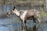 Moose - Alces alces